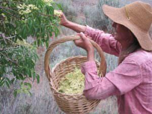 Eagle Peak Herbals02 Bill harvesting elderflowers