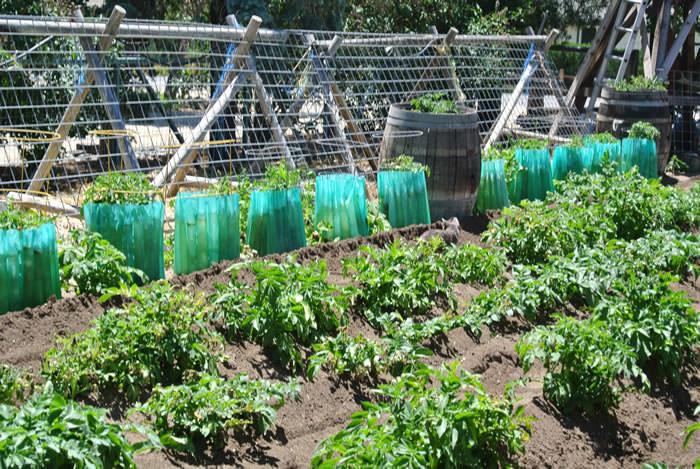 2 EdibleGardenTour Tomato & potato W. Mazetth