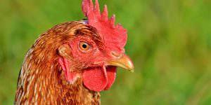 chicken 3033625 1280