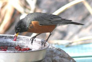 American Robin eating craisins