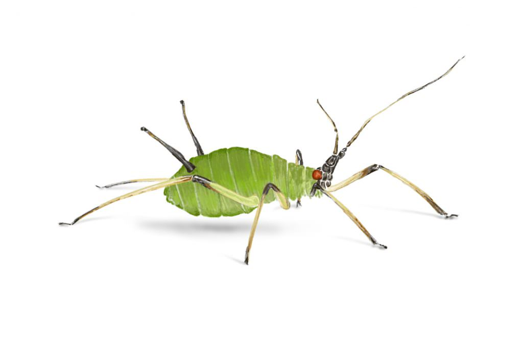 Aphid 1