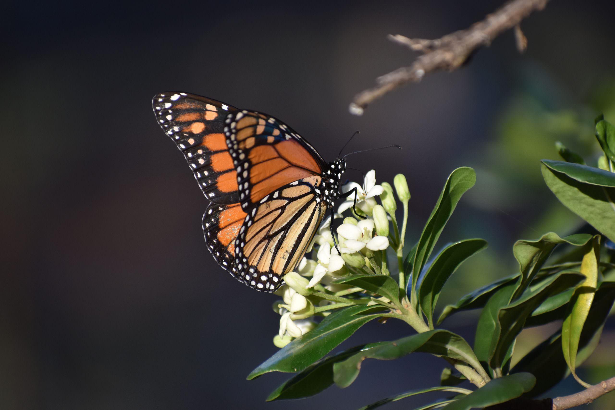 Butterflies Monarch photo by Chris Halsch